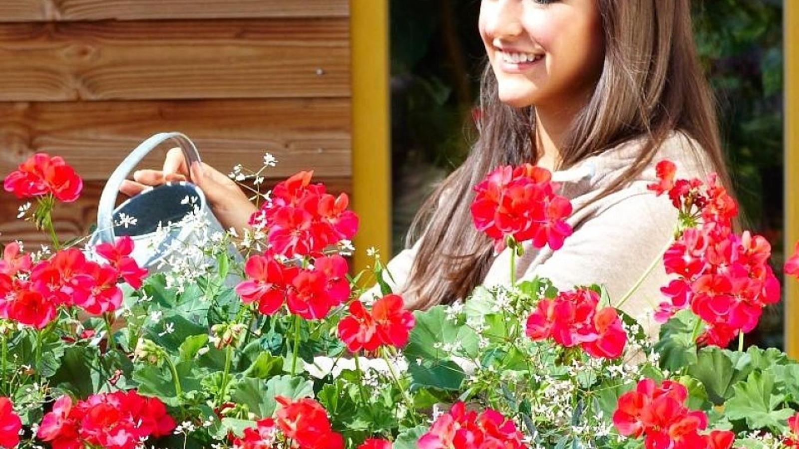 geranien pflegen so pflanzen sie die beliebten balkonblumen richtig. Black Bedroom Furniture Sets. Home Design Ideas