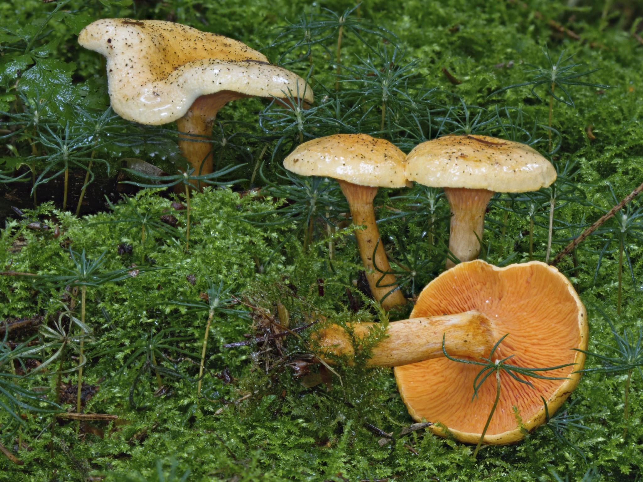 pilze sammeln giftige pilze und essbare pilze bestimmen. Black Bedroom Furniture Sets. Home Design Ideas