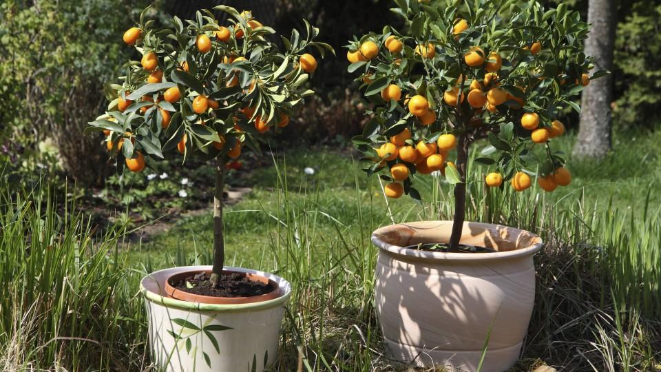 K belpflanzen berwintern die beliebtesten topfpflanzen for Fruchtfliegen in pflanzen