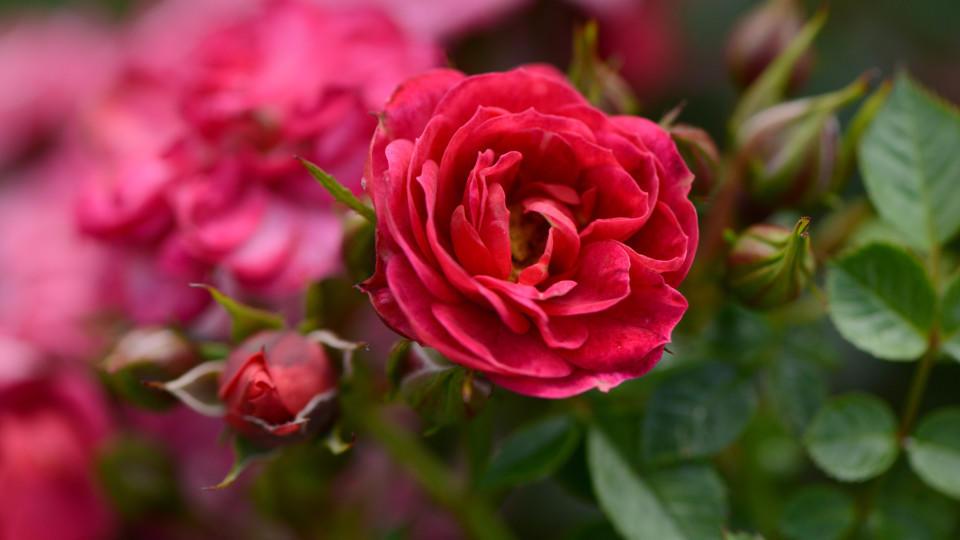 rosen schneiden im sommer diese tipps sollten sie beachten. Black Bedroom Furniture Sets. Home Design Ideas