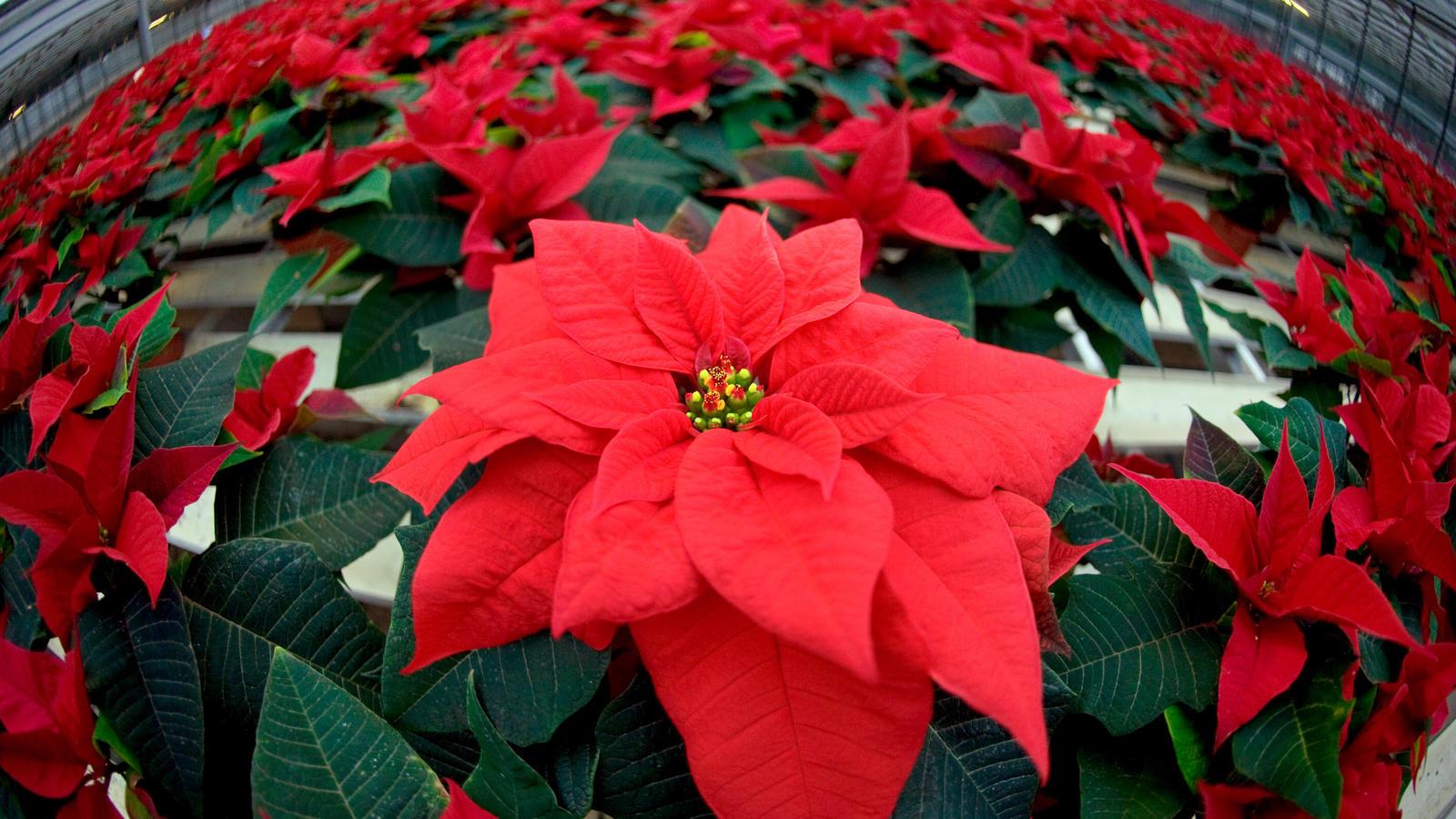 pflege tipps f r weihnachtssterne so halten die pflanzen. Black Bedroom Furniture Sets. Home Design Ideas