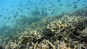 Das Great Barrier Reef ist quasi tot
