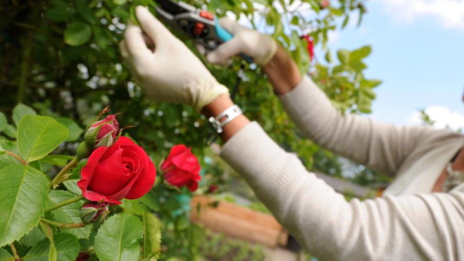 rosen schneiden im sommer diese tipps sollten sie. Black Bedroom Furniture Sets. Home Design Ideas