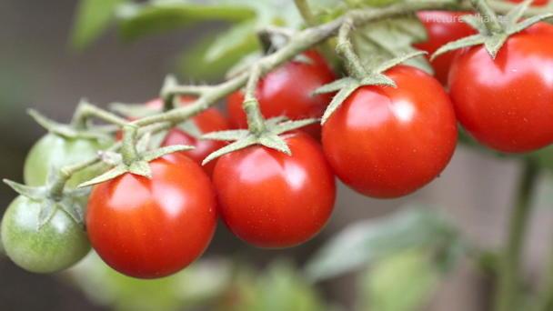 mittel gegen blattl use spinnmilben und mehltau bei tomaten selber machen. Black Bedroom Furniture Sets. Home Design Ideas